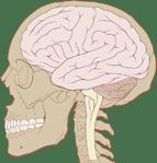 cerveau coupe gauche